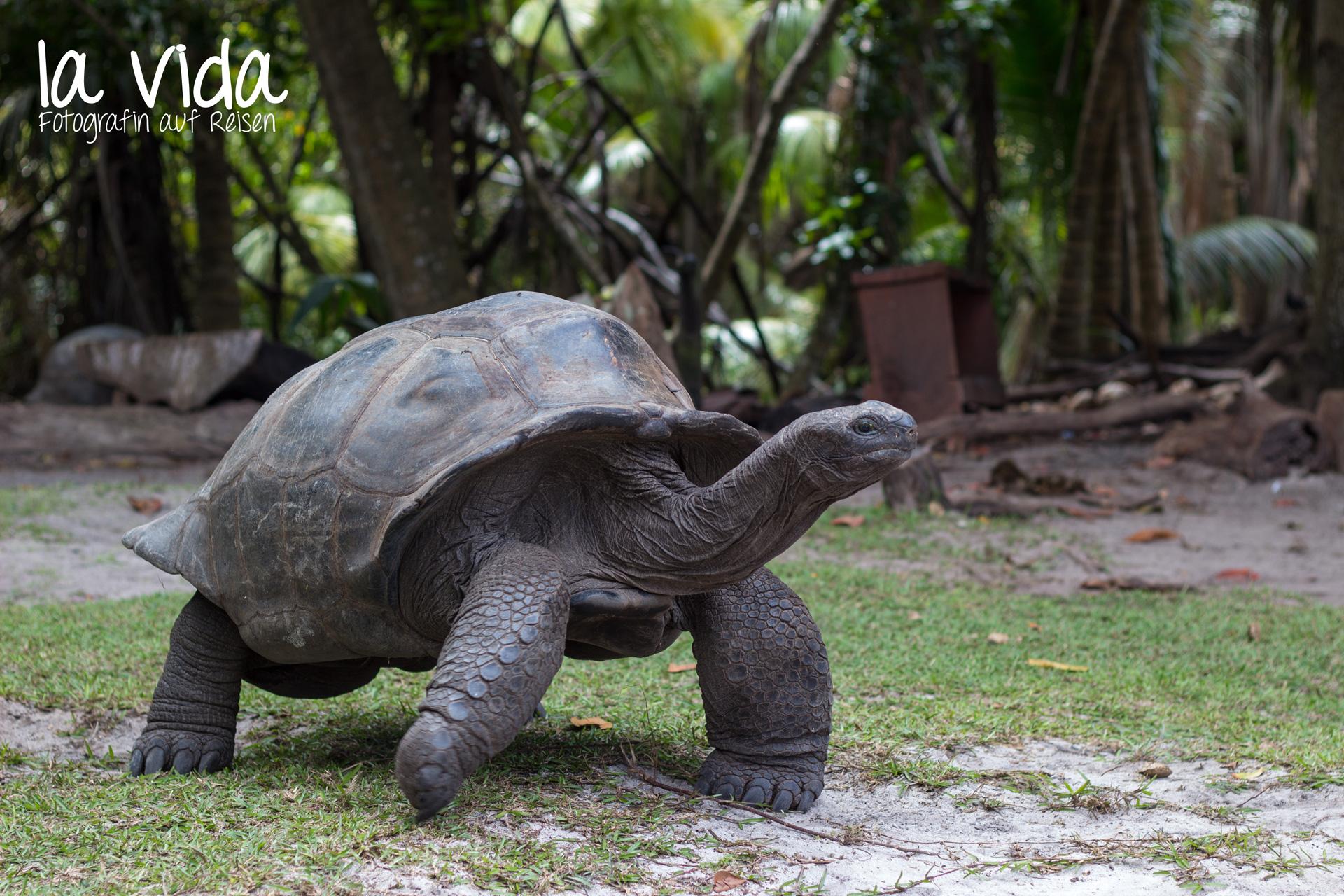 Riesenschildkröte auf Curieuse